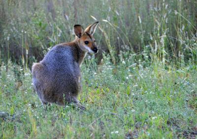 Red necked wallaby in the Carnarvon Range Area